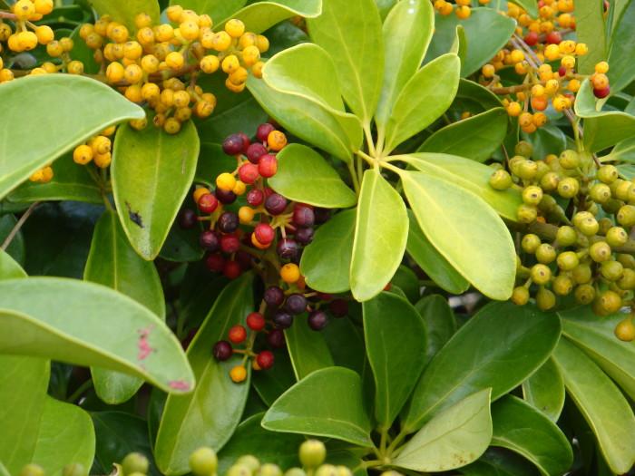 Vegas berries